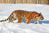 Wild siberian tiger on a morning walk.