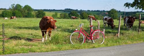 Vaches au pré et balade à vélo - 153038990