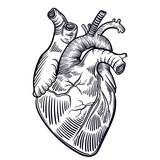 Vector art with a human heart. A healthy human heart. Vintage illustration with a linear heart. - 153041568
