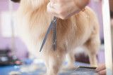Fototapety Dog Pomeranian haircut women master grooming dogs in a salon