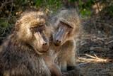 Paviane auf Safari im Krüger Nationalpark
