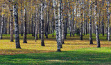 Birch grove in the autumn