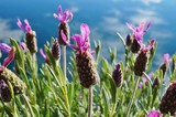 Fragrant purple French lavender flowers with a bow on top