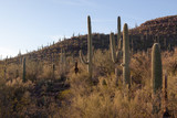 Saguaro Cactus, Arizona, Sonoran Desert