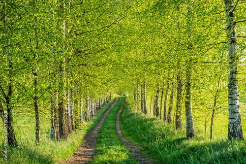 Fotobehang Pistache Birch forest