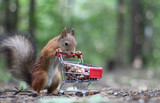 Red squirrel near the small cart from a supermarket with nuts - 153161520