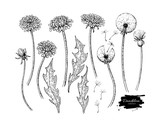 Dandelion flower vector drawing set. Isolated wild plant and flying seeds. Herbal