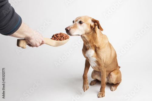 Poster Feeding dog with dry food from big wooden spoon