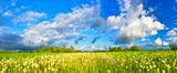 Dandelions on spring meadow