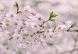 Dreamy Spring in Tokyo