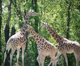 Giraffe - 153271382