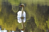 looking for a girl, beautiful swan in a calm see in the morning light