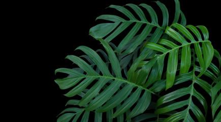 Monstera plant leaves, green tropical forest, evergreen vine on black background