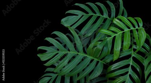Monstera roślina opuszcza, zielony tropikalny las, wiecznie zielony winograd na czarnym tle