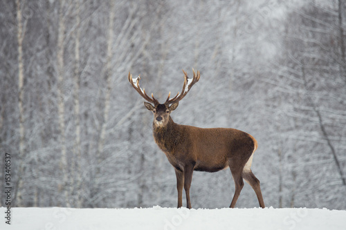 Noble deer with big beautiful horns on snowy field on forest background.European  wildlife landscape with snow and deer with big antlers.Portrait of Lonely elk. - 153408537