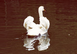 Swans - Cygnus in the water, bird scene, red photo filter