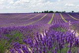 Endless lavender fields of Provence. Beautiful lavender close-up in Provence, France