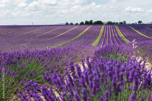 Staande foto Snoeien Endless lavender fields of Provence. Beautiful lavender close-up in Provence, France