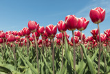 Red and white tulips field.
