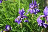 Purple irises flower- nature spring background. Floral pattern.