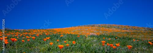 Plexiglas Klaprozen Antelope Valley Poppy Preserve