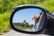 View of the dog in the rearview mirror of the car. Dog looking out the car window. Hungarian pointer Vizsla.