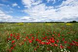 Champ des fleurs sauvages: coquelicots, marguerites, colza. Le ciel bleu avec de nuages