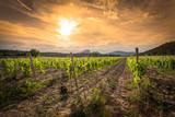 des vignes sous un ciel orange au soleil couchant et des montagnes en arrière plan