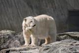 Eisbär in einem Gehege