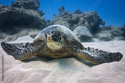Green Sea Turtles relax Poster