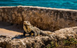 Iguana in the sun on rock wall in Cancun Mexico