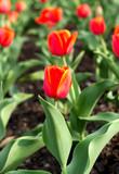 red tulip flower garden floral spring nature colors