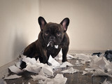 Blame the dog made a mess in the room. Playful puppy French bulldog - 153751940