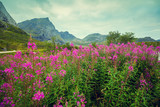 Mountain landscape. Rocky skyline, blue cloudy sky, and blossoming pink flowers. Beautiful nature Norway. - 153765328