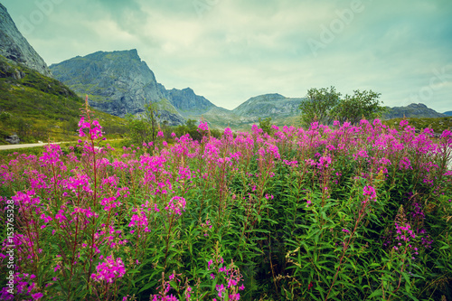 Fototapeta Mountain landscape. Rocky skyline, blue cloudy sky, and blossoming pink flowers. Beautiful nature Norway.
