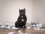 Funny dog made a mess in the room. Playful puppy French bulldog - 153766103