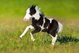 Beautiful piebald pony foal  run fast in green pasture - 153795538