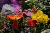Schmetterling 333