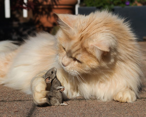 Maine Coon cat talking to a mouse