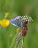 Common blue butterfly or Polyommatus icarus