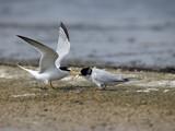 Little tern, Sterna albifrons