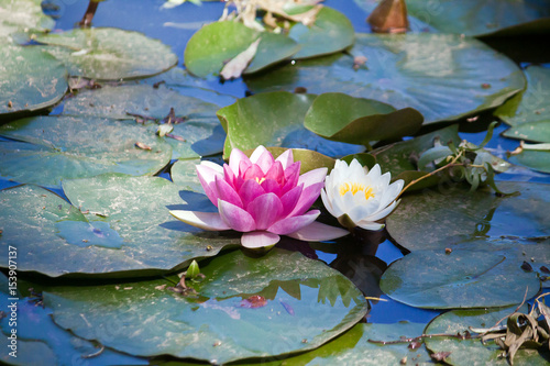 Poster Water planten waterlilies in the pond