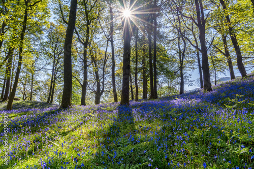 Sun shining through woodland trees with bluebell carpets on a beautiful spring morning.