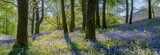 Fototapety Beautiful spring panorama in a woodland forest with Bluebell carpet in foreground.