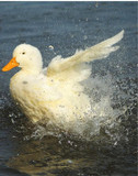 Pekin Splash