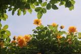 薔薇の密林