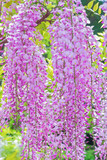 珍しいピンク色の藤の花