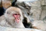 Snow Monkey (Japanese Macaque), Nagano, Japan.