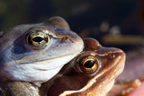 Lake frogs at mating time