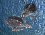 young sea turtles